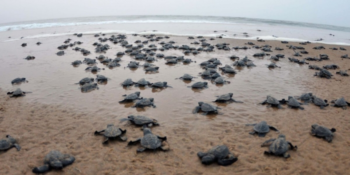 Over One Lakh Olive Ridley Baby Turtles Enter Sea in Odisha's Kalam Island